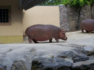 Hippo at the zoo